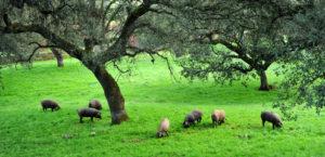 Ceros ibéricos pastando en dehesa