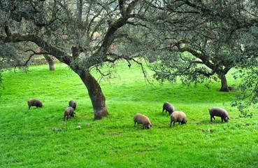 Cerdos ibéricos para exportación de jamón ibérico