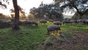 Cerdos de la dehesa de Guijuelo para jamones ibéricos