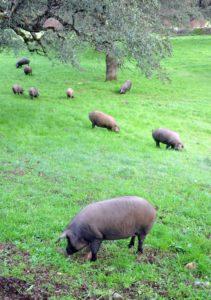 Cerdos ibéricos en libertad en dehesas