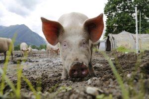 Cerdo blanco paar diferencias entre jamón serrano y jamón ibérico
